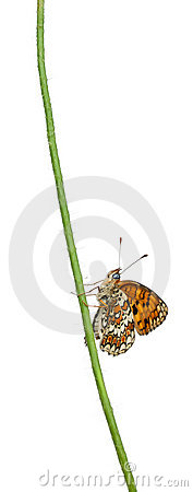 Knapweed Fritillary, Melitaea phoebe, on flower
