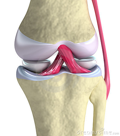 Knee joint closeup view