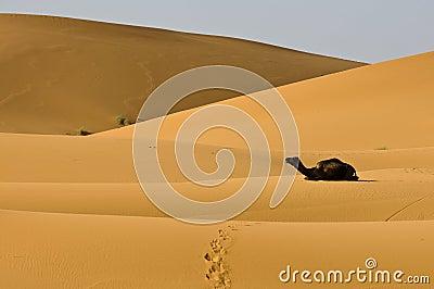 Kneeing camel in desert dunes