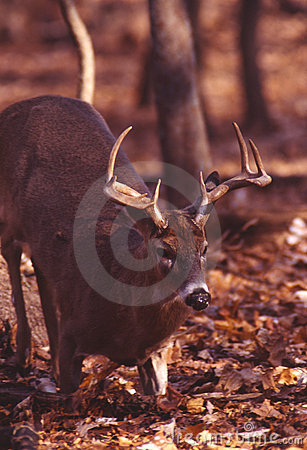 Kneeling whitetail deer