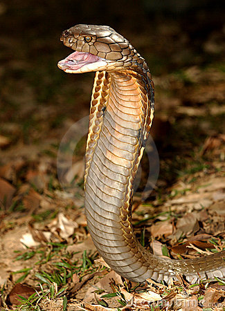König Kobra