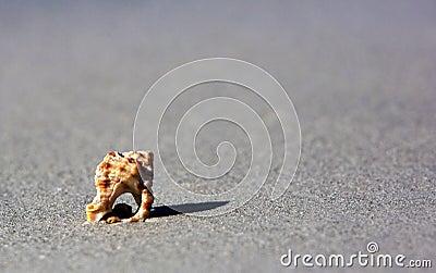 Knobbed Whelk Shell