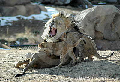 Knock it off! lion family