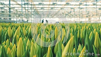 Knospen von den gelben Tulpen, die im Grün wachsen stock video
