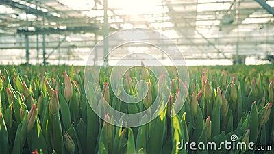 Knospen von rosa Tulpen in einem sonnenbeschienen Gewächshaus stock video footage