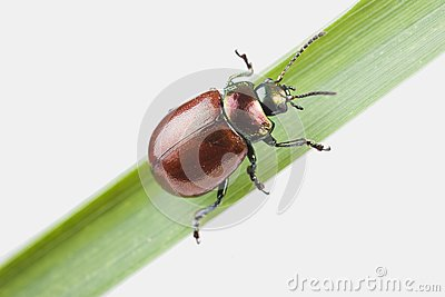 Knotgrass Leaf Beetle (Chrysolina polita)