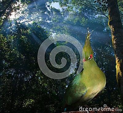 Knysna loerie bird