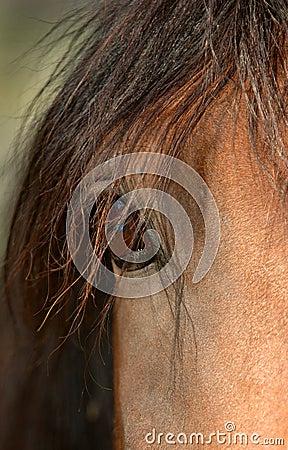 Koń oko
