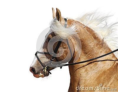 Koń palomino