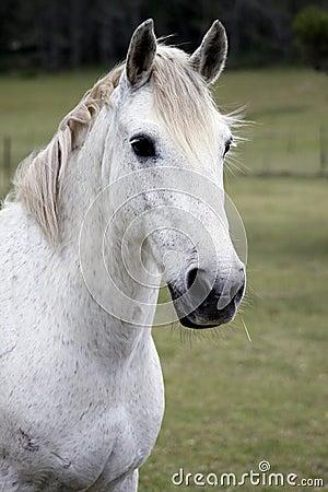 Koński biel