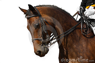 Koń dressage bay