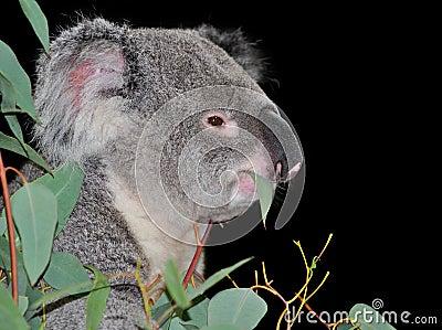 Koala                    Q Come El Koala