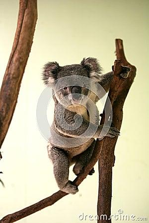 Free Koala Royalty Free Stock Photo - 3245985