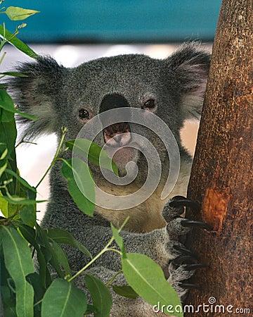 Free Koala Stock Image - 66692571