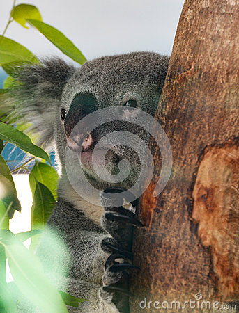 Free Koala Royalty Free Stock Image - 67092156