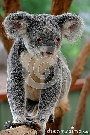 Koala Bear #1