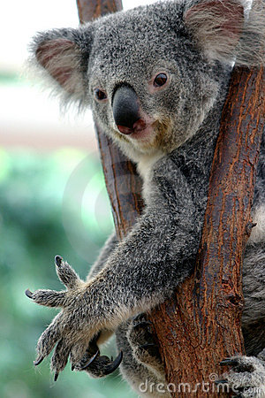 Free Koala Bear 2 Royalty Free Stock Photo - 95215