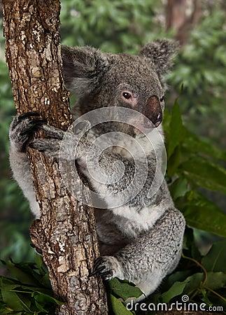 Free Koala Bear Royalty Free Stock Image - 92004276