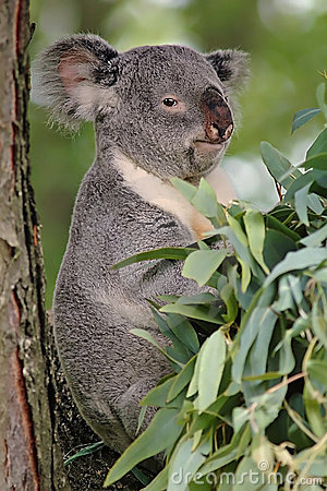 Free Koala Bear Stock Photo - 933250