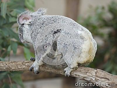 Koala bear Australian adult female with baby