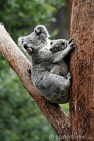 Free Koala Bear Mother And Baby Royalty Free Stock Photo - 7176045