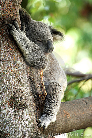 Free Koala Bear Sleeping In A Tree Royalty Free Stock Images - 3733829