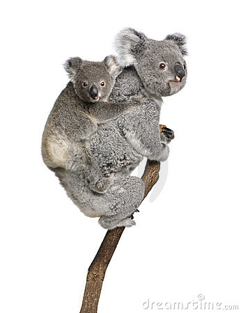 Free Koala Bears Climbing Tree Against White Background Royalty Free Stock Images - 10930109