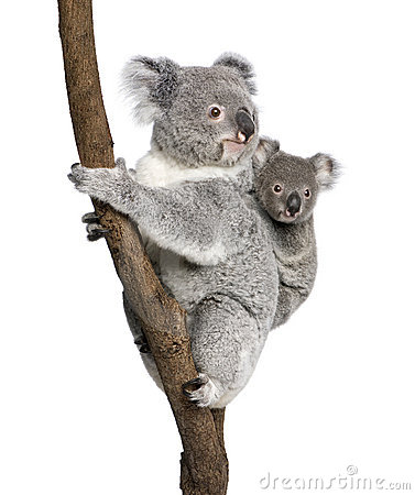 Free Koala Bears Climbing Tree Against White Background Royalty Free Stock Photo - 10939815