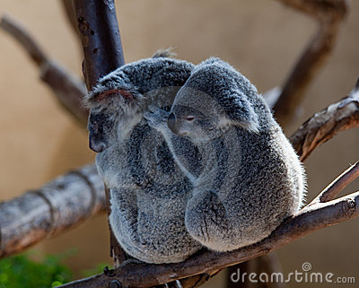 Koala Bears cuddling on a branch