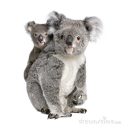 Free Koala Bears In Front Of A White Background Stock Images - 10930134