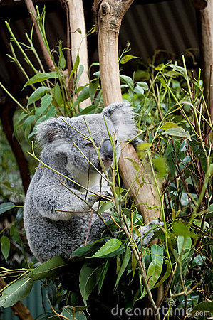 Koala on branch, eating eucalyptus