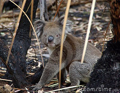 Koala in Burnt Undergrowth