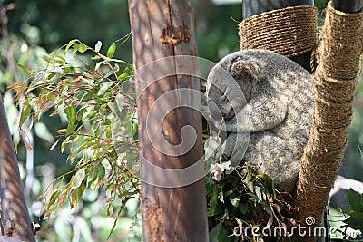 Koala in de V.S.