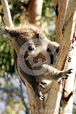 Koala di sonno