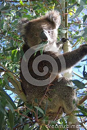 Koala Eating Royalty Free Q Come El Koala
