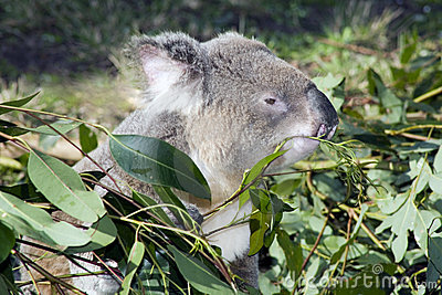 Koala eating a gum leaf