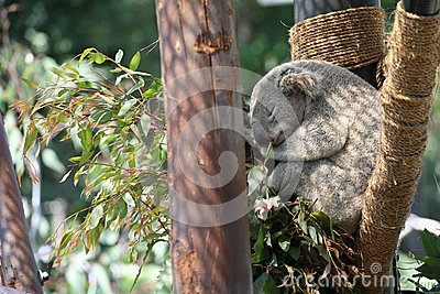 Koala en los E.E.U.U.