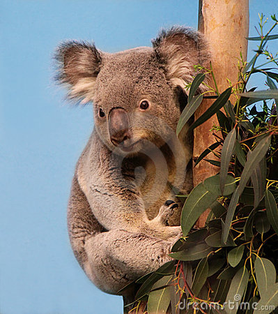 Koala in eucalyptus tree