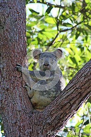 Koala in Eucalyptus Tree, Australia