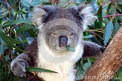Koala face, Australia