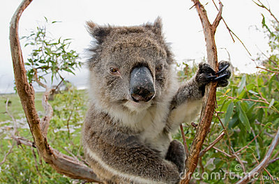 Koala in a gum tree Australia
