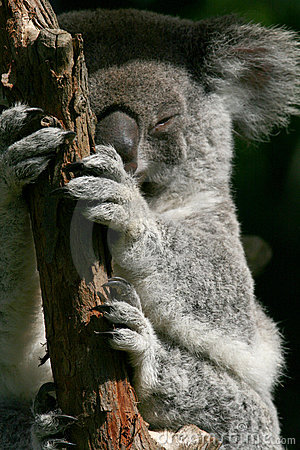 Koala hands and feets