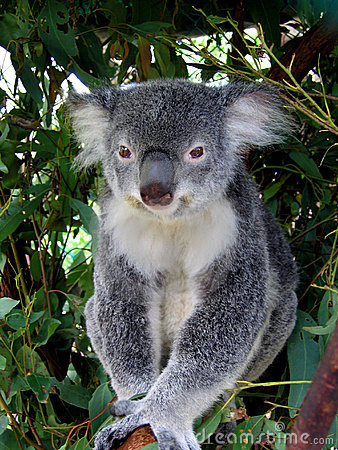 Free Koala In Australia Stock Photography - 10209162