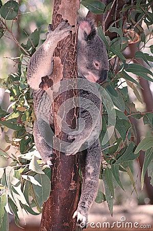 Koala (Phasclorctos cinereus)