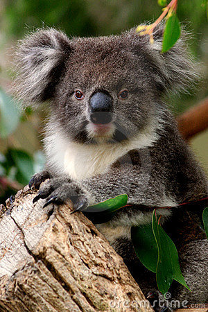 Free Koala Pose Royalty Free Stock Photos - 726898