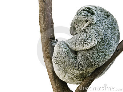 Koala Sleeping in Fetal Position Isolated on White