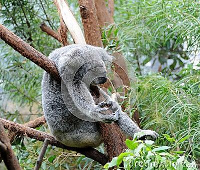 Koala sleeps in a eucalyptus tree