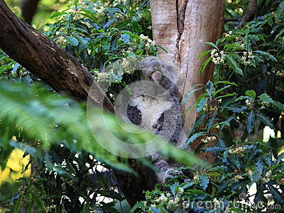 Koala in tree awake