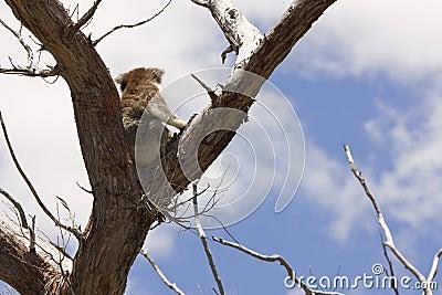 Koala on tree top