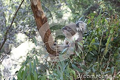 Koala on a tree trunk